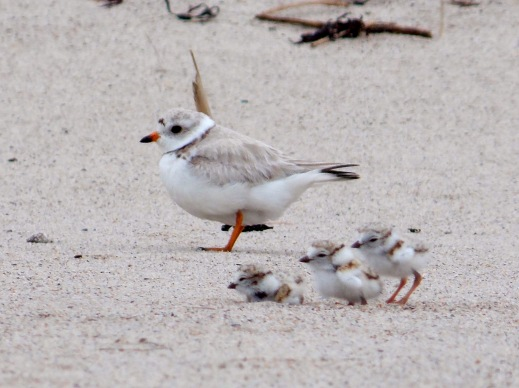 piping plovers and chicks_Kaiti Titherington USFWS_flickr