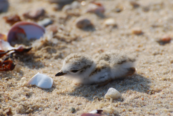 A fuzzy piping plover chick nearly blends into the sand on a Long Island Beach.