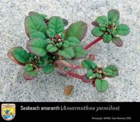 Seabeach Amaranth