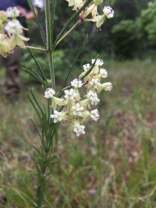 Whorled milkweed
