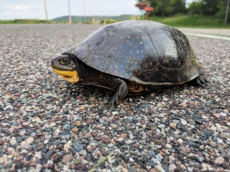 A Blanding's turtle crossing a road. Photo by Courtney Celley/USFWS.