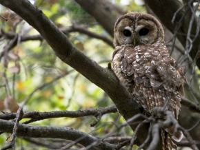 A Mexican spotted owl, photo by Gregory Smith/ Creative Commons