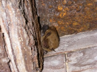 A little brown bat nestles into a secluded corner. Credit: DE Division of Fish & Wildlife