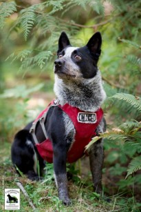 Conservation canine Pip. Photo by Jaymi Heimbuch