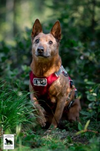 Conservation canine Alli. Photo by Jaymi Heimbuch
