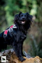 Conservation canine Beckett. Photo by Jaymi Heimbuch