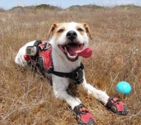 Conservation canine Casey. Photo by Jaymi Heimbuch
