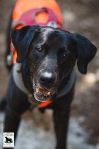 Conservation canine Sampson. Photo by Jaymi Heimbuch